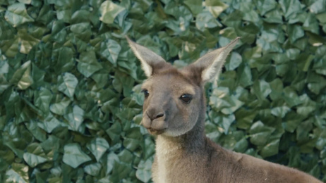 San Diego Zoo: Kangabun Film by M&C Saatchi Los Angeles